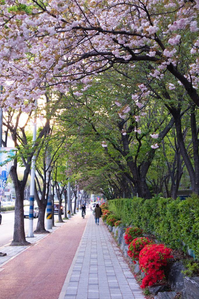 Lingua Asia_Cherry Blossom_Spring Photo_2021