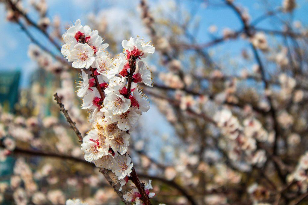 Lingua Asia_Spring_Cherry Blossom_Korea_2021_1