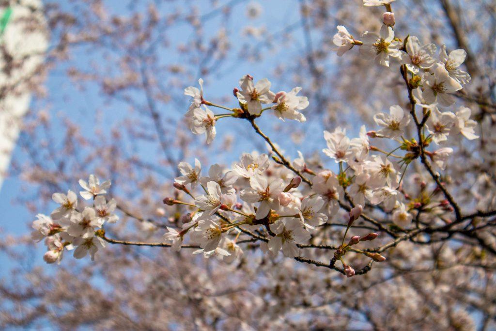 cherry blossom up close
